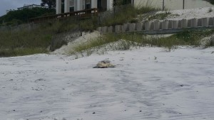 This Kemp's Ridley Turtle came onto the beach to nest in the morning, we are so happy to have this Kemp's and have folks see this event