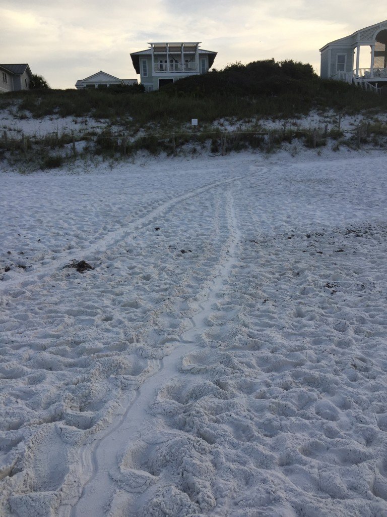 found by alan in Seaside a loggerhead