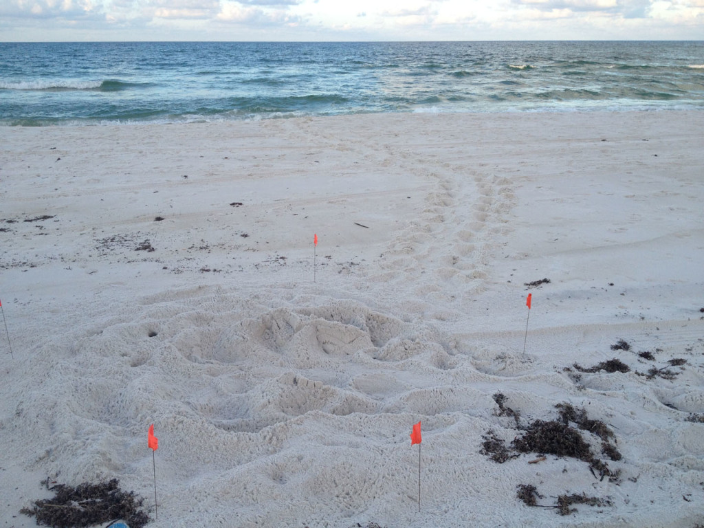 a loggerhead found by Eric looks as if the lights drew her to the west before she found the water