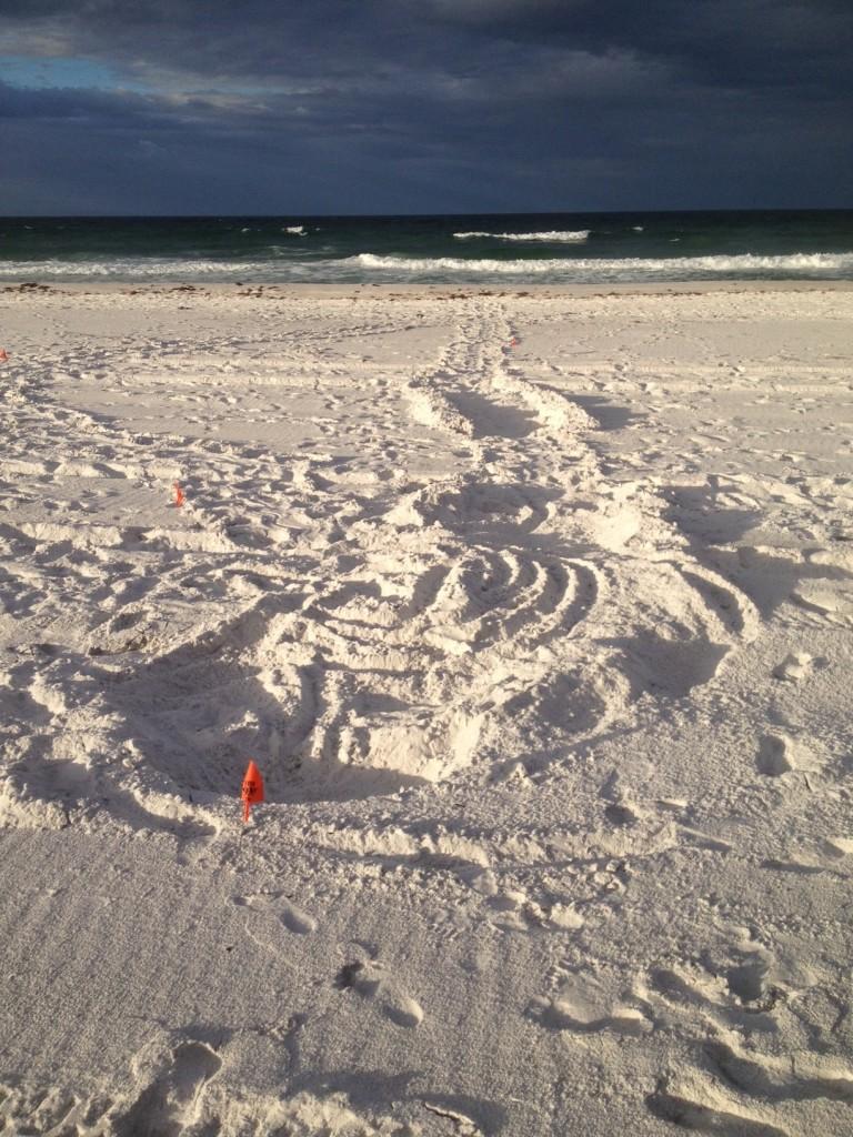A LOGGEREHEAD FOUND BY KATIE IN SANTA ROSA BEACH