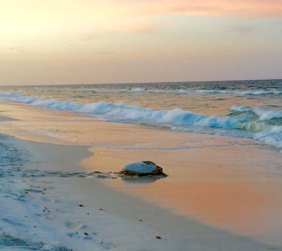 Lucky first year walkers Elaine and Dan they came upon this Loggerhead as she was finishing nesting, stayed well back, watched her finish and got this beautiful picture of her going back into the water. How great.